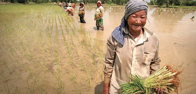 Growing rice for Lao Lao Whiskey in Laos